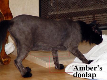 bengal cat walk on leash
