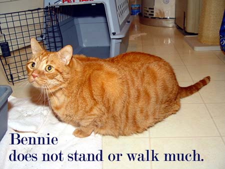 Obese cats suffer from painful orthopedic problems