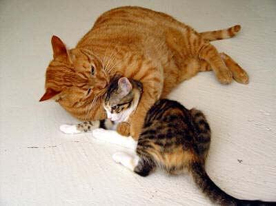 Feline Obesity An Epidemic of Fat Cats