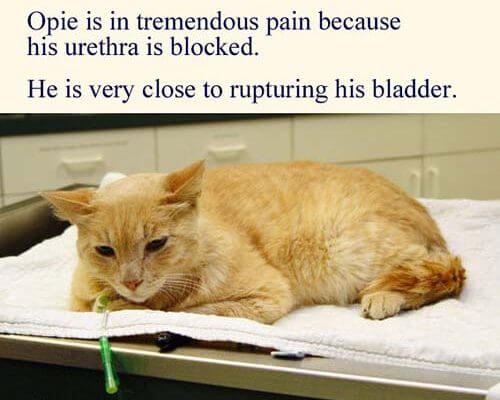 cat in pain from blocked urethra