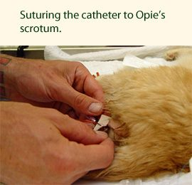 Cat catheter