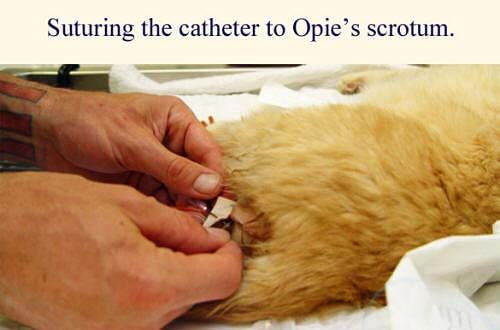 Cat Urinary Tract Diseases Cystitis Urethral Obstruction
